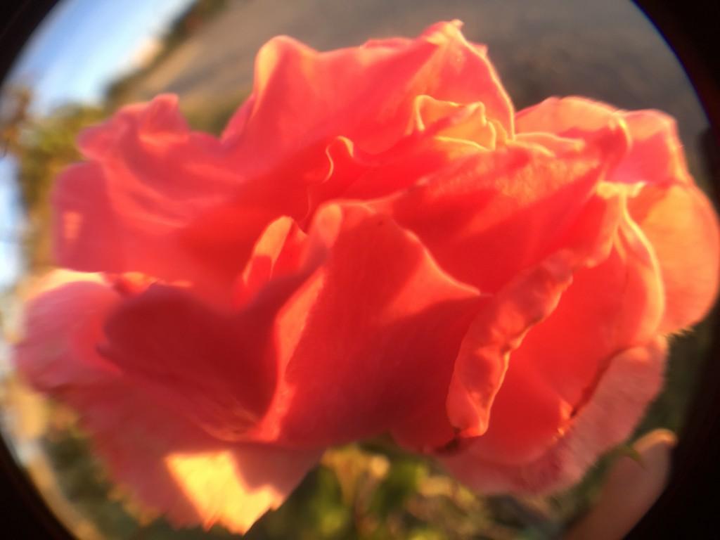 Rose in der Kugel